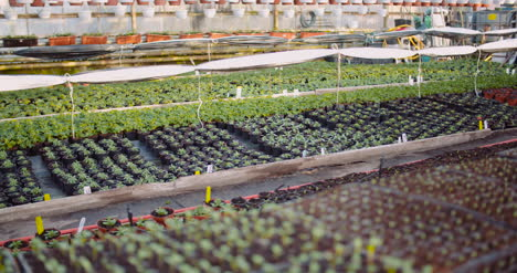 Agriculture-Flower-Seedlings-In-Greenhouse-31