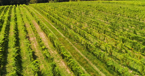 Agriculture-Aerial-View-Of-Vineyard-Vide-Production