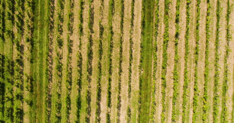 Agriculture-Aerial-View-Of-Vineyard-Vide-Production-1