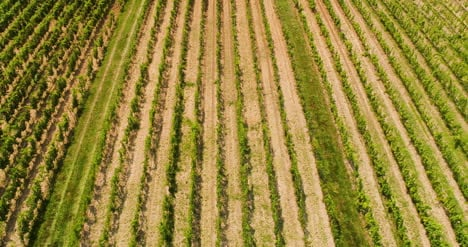 Agriculture-Aerial-View-Of-Vineyard-Vide-Production-2
