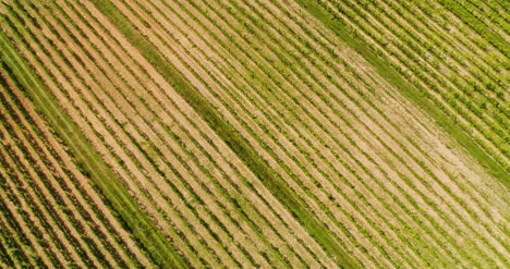 Agriculture-Aerial-View-Of-Vineyard-Vide-Production-4