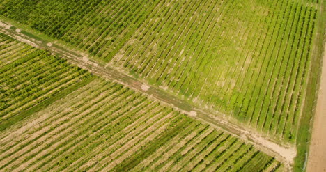 Agriculture-Aerial-View-Of-Vineyard-Vide-Production-5
