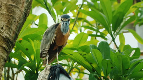 Black-Crowned-Heron-Or-Black-Capped-Heron