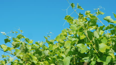 Grapevine-Sways-In-The-Wind-Against-A-Blue-Sky-Low-Angle-Shot
