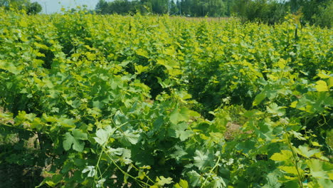 Rows-Of-Vine-In-A-Small-Vineyard-Swinging-In-The-Wind