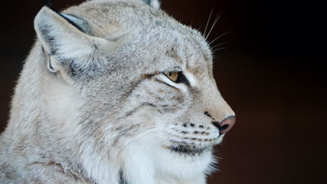 Side-View-Of-A-Cougar-Beautiful-Predatory-Cat