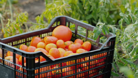 A-Box-Of-Ripe-Tomatoes-Stands-On-The-Garden
