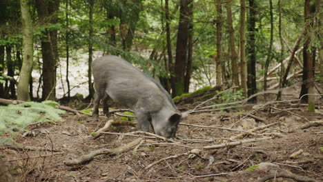 A-Large-Wild-Boar-Digs-The-Ground-With-Its-Snout-Looking-For-Food-In-The-Forest-4K-Video