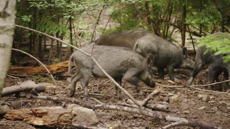A-Herd-Of-Wild-Pigs-Feeds-In-The-Forest-Wild-Life-Of-The-Forest-4K-Video