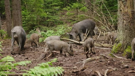 A-Herd-Of-Wild-Boars-Is-Grazing-In-The-Forest-Wild-Life-Of-The-Forest-4K-Video