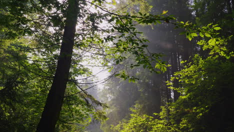 The-Rays-Of-The-Sun-Shine-Through-The-Branches-Of-The-Trees-Morning-Forest-Crystal-Clear-Air-And-Lig