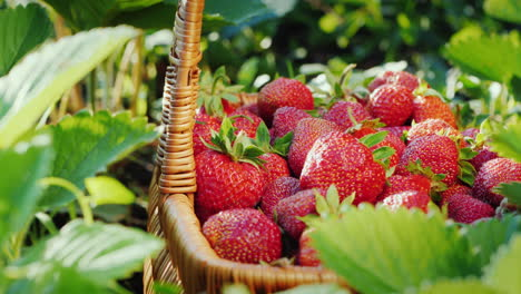 Harvest-Strawberries---Hand-Puts-The-Berry-In-The-Basket