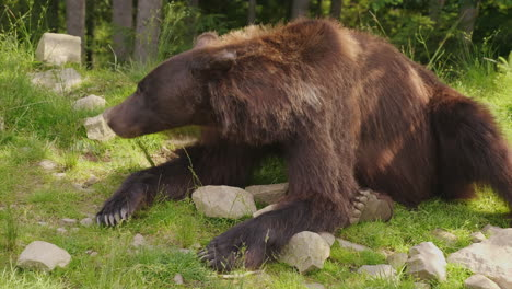 A-Large-Brown-Bear-Rests-On-A-Glade-Forest-In-The-Background-Wild-Life-Of-The-Forest-4K-Video