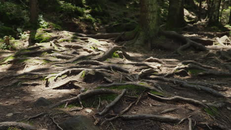The-Roots-Of-Old-Trees-On-A-Mountain-Path-An-Old-Deciduous-Forest-The-Rays-Of-The-Sun-Make-Their-Way