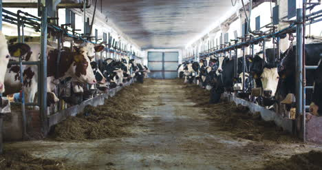 Modern-Farm-Barn-With-Milking-Cows-Eating-Hay-Cows-Feeding-On-Dairy-Farm-6