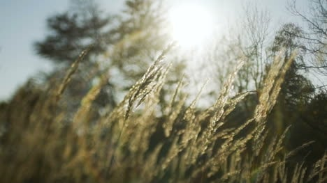 Sunset-Through-The-Reeds-Silver-Feather-Grass-Swaying-In-Wind-3