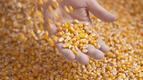 Farmer-Hands-Showing-Freshly-Harvested-Corn-Grains-Agriculture-Corn-Harvesting-2