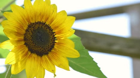 Close-Up-Of-Sunflower-Agriculture-Sunflower-Farm