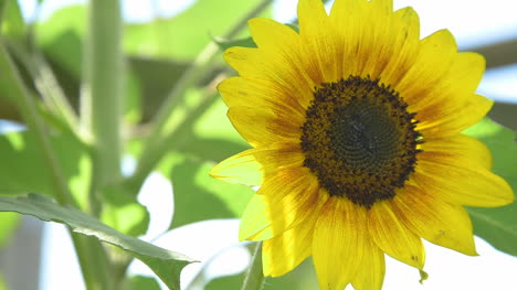Close-Up-Of-Sunflower-Agriculture-Sunflower-Farm-1