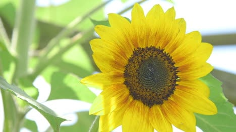 Close-Up-Of-Sunflower-Agriculture-Sunflower-Farm-2