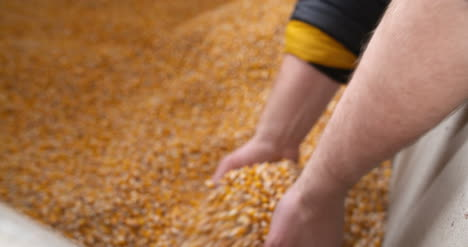 Agricultural-Maize-Corn-Grains