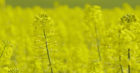 Close-Up-View-Of-Yellow-Colza-Field-And-Canola-Rape-Field-5