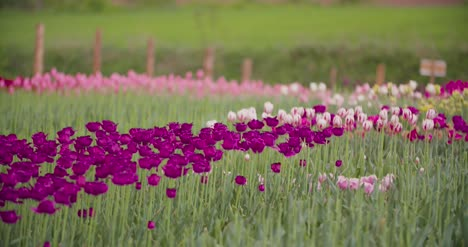 Beautiful-Red-Tulips-Blooming-On-Field-35