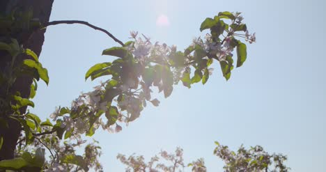 Blooming-Branch-Of-Apple-Tree