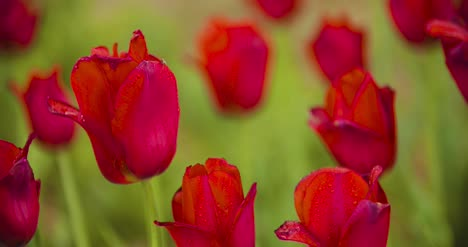 Beautiful-Red-Tulips-Blooming-On-Field-36