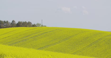 Close-Up-View-Of-Yellow-Colza-Field-And-Canola-Rape-Field-6