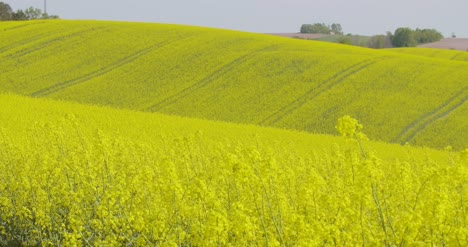 Rolling-Hills-Covered-With-Canola-Plants-In-Bloom-1