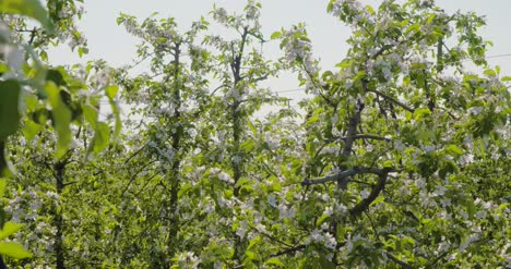 Blooming-Branch-Of-Apple-Tree-1