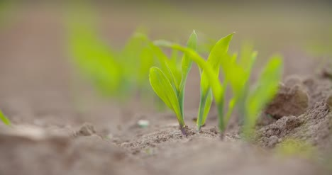Young-Crops-Growing-At-Farm-1