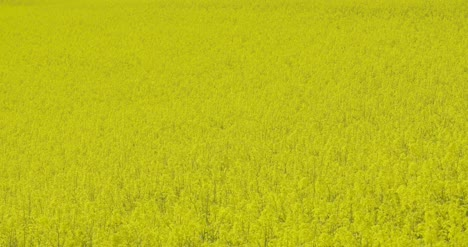 Close-Up-View-Of-Yellow-Colza-Field-And-Canola-Rape-Field-8
