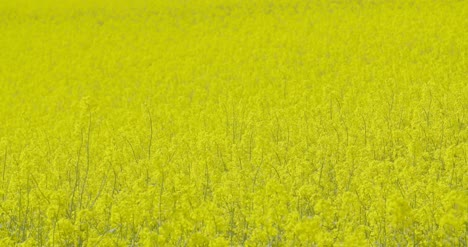 Close-Up-View-Of-Yellow-Colza-Field-And-Canola-Rape-Field-9
