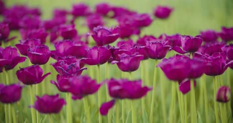Beautiful-Red-Tulips-Blooming-On-Field-37