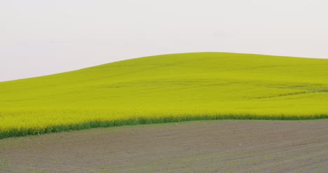 Rolling-Hills-Covered-With-Canola-Plants-In-Bloom-2
