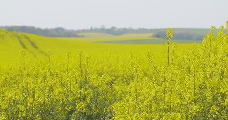 Close-Up-View-Of-Yellow-Colza-Field-And-Canola-Rape-Field-10
