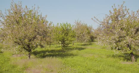 Fruit-Trees-In-A-Row-On-Agricultural-Field