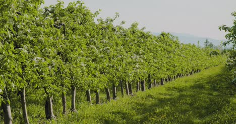 Fruit-Trees-In-A-Row-On-Agricultural-Field-1