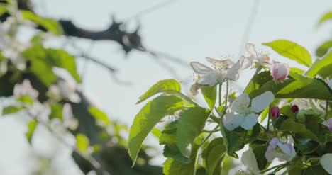Blooming-Branch-Of-Apple-Tree-3