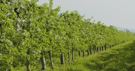 Fruit-Trees-In-A-Row-On-Agricultural-Field-2