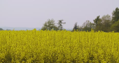 Close-Up-View-Of-Yellow-Colza-Field-And-Canola-Rape-Field-11