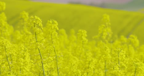 Close-Up-View-Of-Yellow-Colza-Field-And-Canola-Rape-Field-2