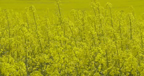 Close-Up-View-Of-Yellow-Colza-Field-And-Canola-Rape-Field-3
