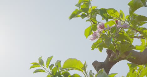 Blooming-Branch-Of-Apple-Tree-4