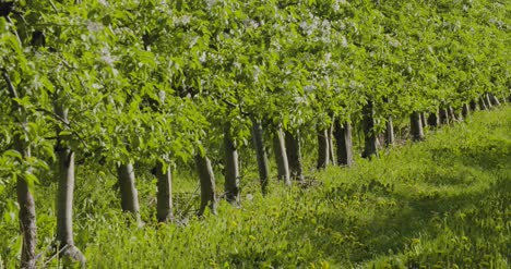 Fruit-Trees-In-A-Row-On-Agricultural-Field-4