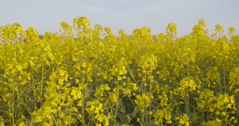 Blooming-Canola-Field-Agricultural-Field-On-Canola-2