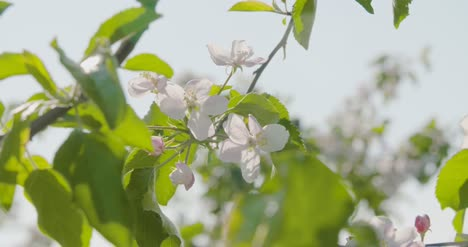 Blooming-Branch-Of-Apple-Tree-5