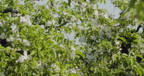 Blooming-Branch-Of-Apple-Tree-6